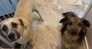 Rappini Labrador Retriever Dog