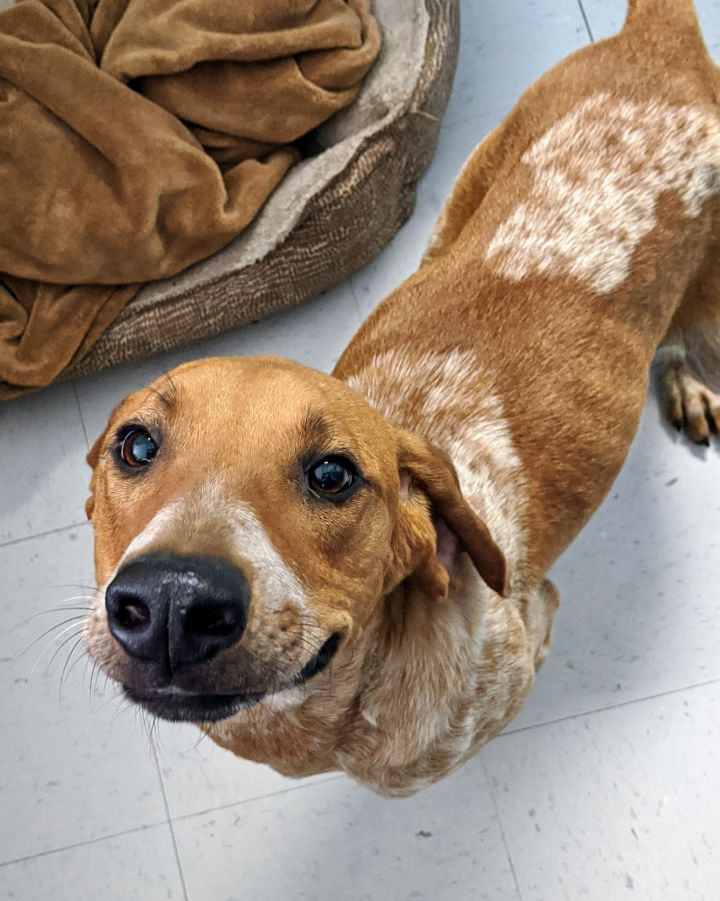Tom Selleck, an adopted English Coonhound & Hound Mix in Torrington, CT