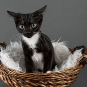 Eagle, an adopted Domestic Short Hair Mix in Myakka City, FL