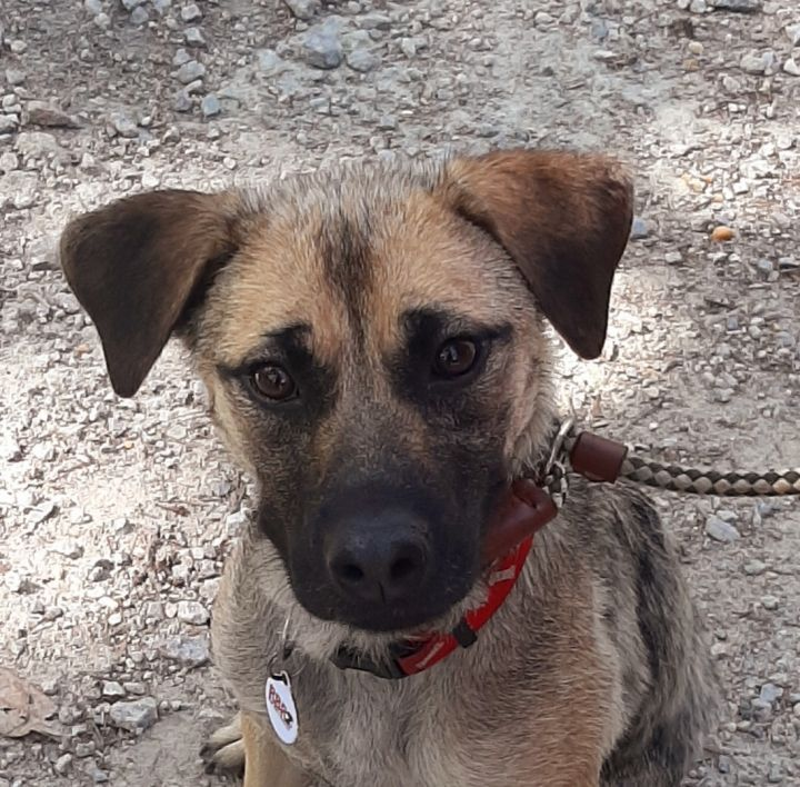 Shelley, an adopted Shepherd Mix in Clayton, NC_image-4