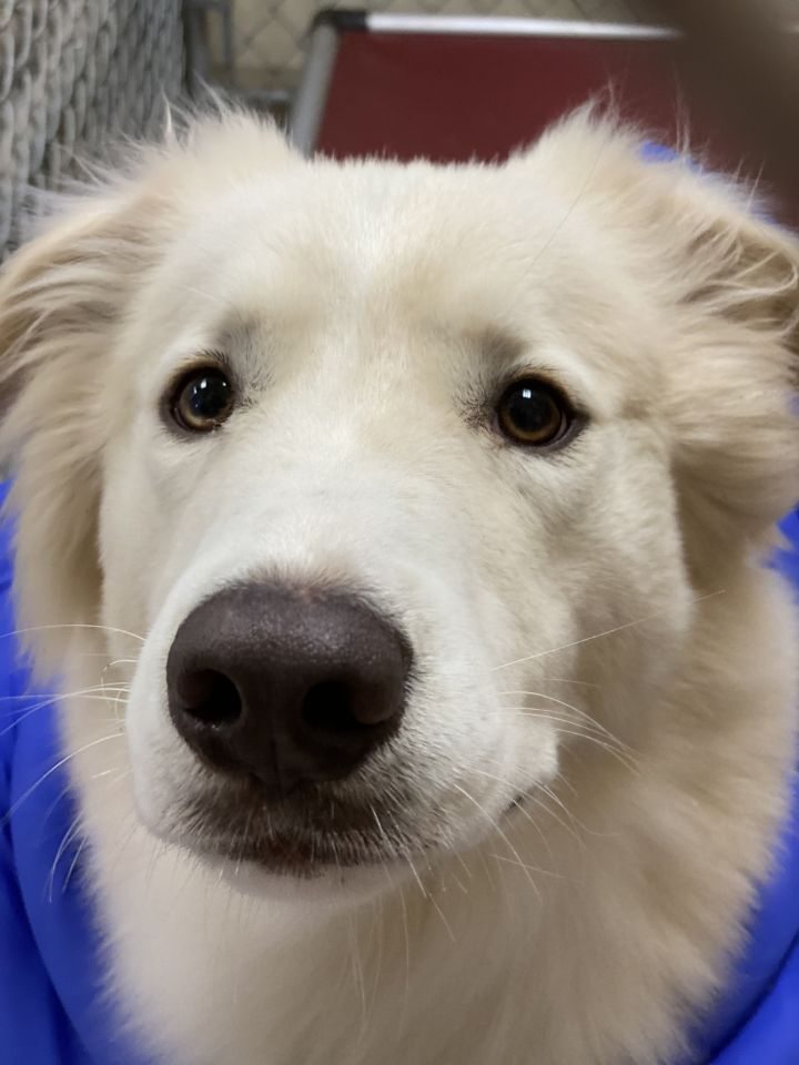 Buck, an adoptable Golden Retriever Mix in Saint Louis, MO