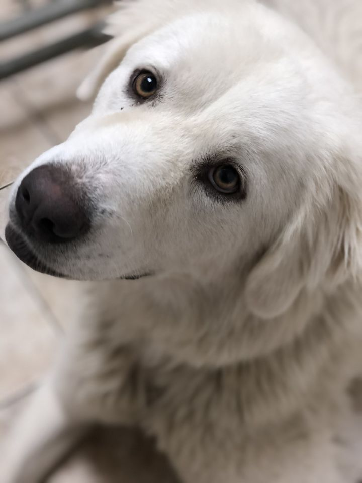 Sarabi, an adoptable Great Pyrenees in Saint Louis, MO