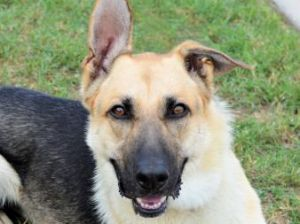 Dakota is a gorgeous dog whose only owner couldnt keep him Owner reports that he is housetrained a