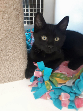 Felix, an adoptable Domestic Short Hair Mix in Palo Cedro, CA