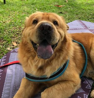 Whats better than either a Chow chow or a Shar-pei a Chowpei Buddy is just waiting in PR to come
