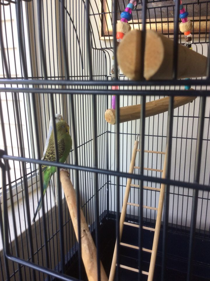 Skype and Blossom, an adoptable Parakeet (Other) Mix in North Babylon, NY