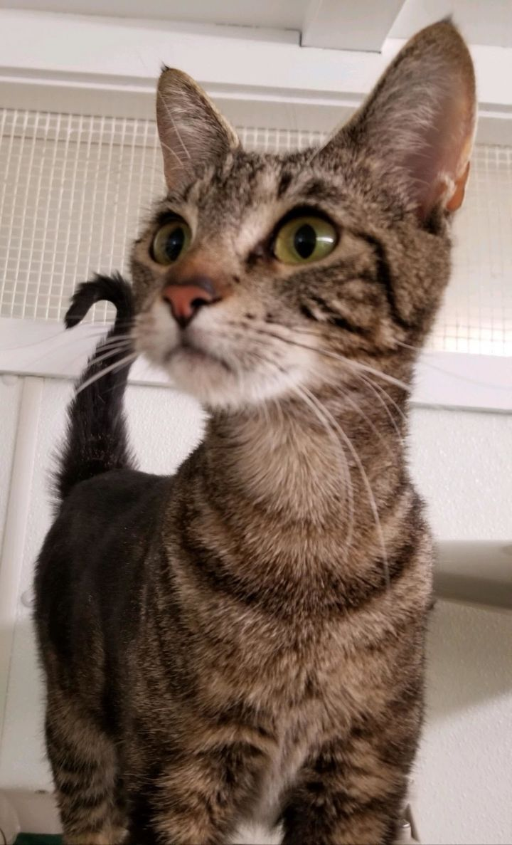 Lemon, an adoptable Domestic Short Hair & Tiger Mix in Butte, MT
