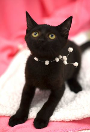 Neesa is a sweet 13 week old Bombay mix kitten She is laid back playful and gentle She is spayed