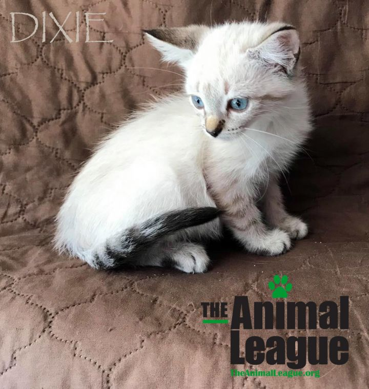Dixie, an adopted Siamese & Domestic Short Hair Mix in Clermont, FL