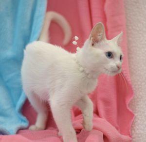 Mona - WH Domestic Short Hair Cat