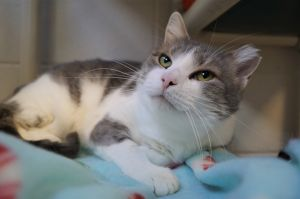 Stella is a five-year-old gray and white cat who was found as a stray She does not seem used to