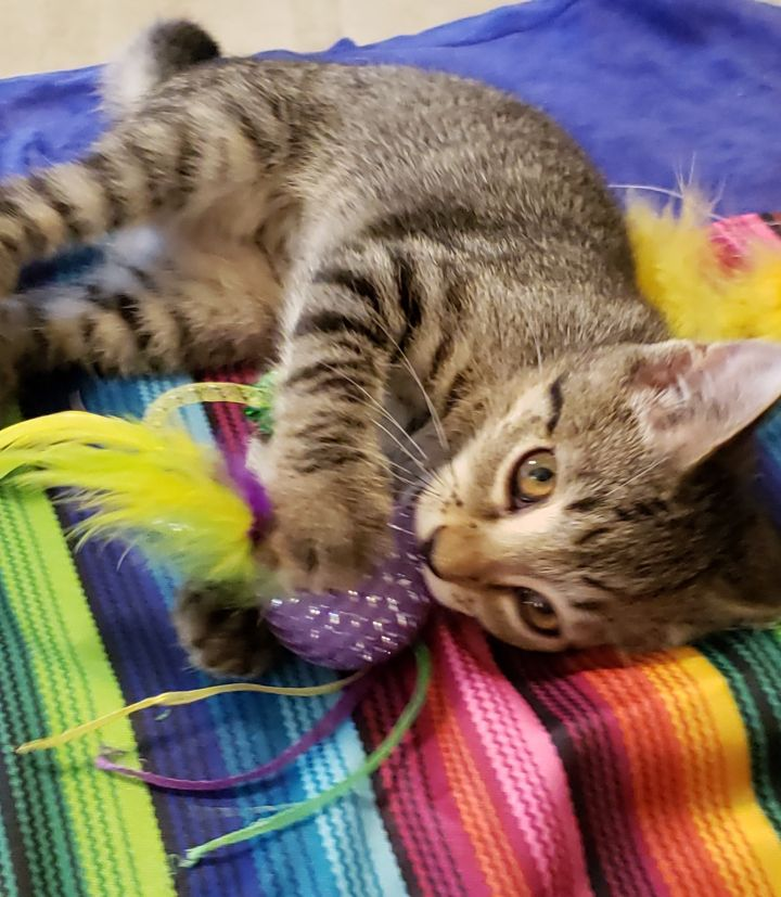 Sienna, an adoptable Domestic Short Hair Mix in Springfield, MO