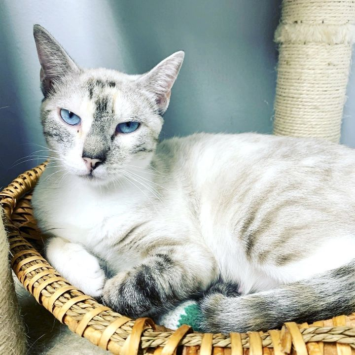 Salma, an adopted Siamese in Los Angeles, CA