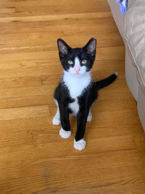 Figaro is an adorable sweet and playful 4 month old little tuxedo boy He is good with other cats