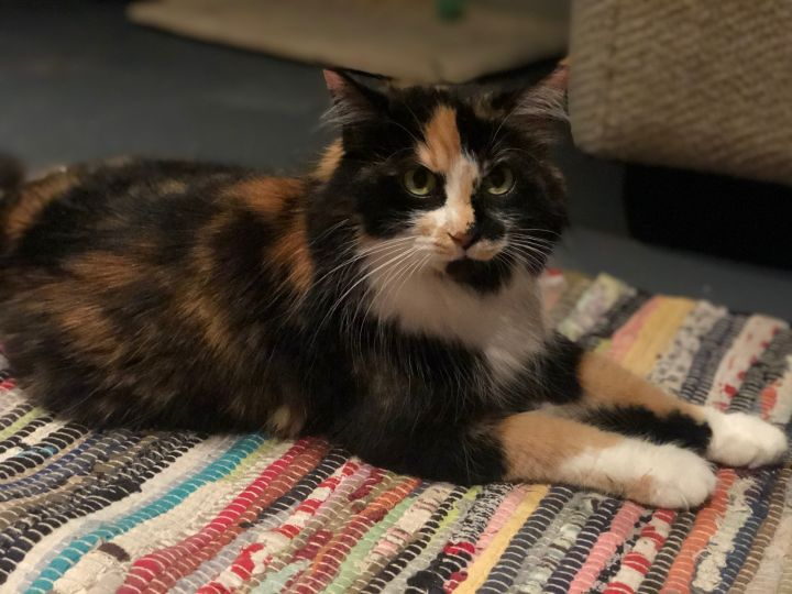 Kendra, an adoptable Calico in Louisville, KY