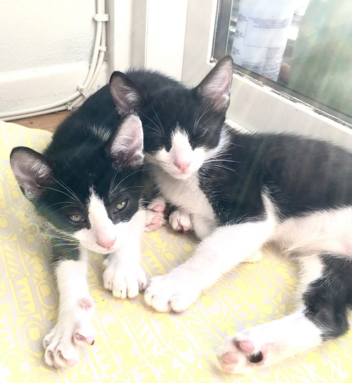 Mr. Clyde & James Bond (bonded), an adopted Tuxedo in Los Angeles, CA