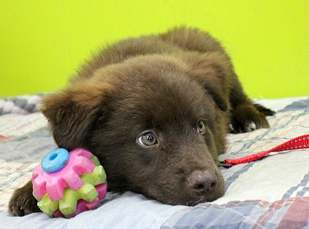 Radiant Reed, an adopted Shepherd & Collie Mix in Reston, VA