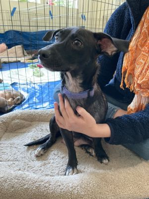 Breed Dachshund  Lab mix Age 1 yr Weight 12 lbs Good with dogs no Good with cats unsure Good