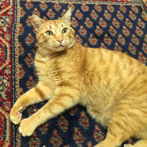 Mr. Milo, an adoptable Tabby & Domestic Short Hair Mix in Springfield, OR