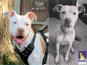 Terrific Tori is in foster care Email BARCFosterhoustontxgov to meet her Loving affectionate a
