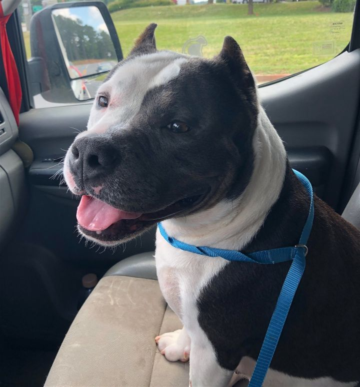 Babe, an adoptable Pit Bull Terrier in Dallas, GA