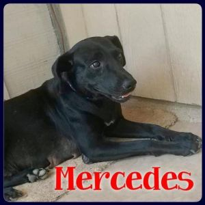 You can fill out an adoption application online on our official website Mercedes is a female Labrad