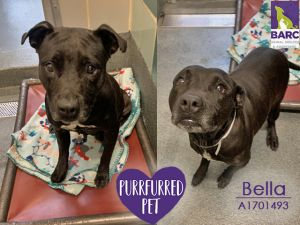 Have you ever met a waggier gal Bella is in foster care so email BARCFosterhoustontxgov to meet
