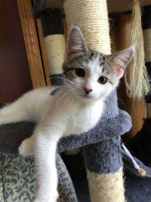 Rose is a darling little female kitten that is looking for a loving home She is