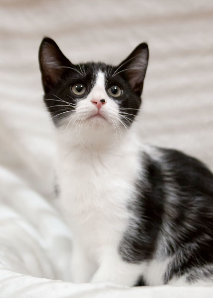Mojito, an adoptable Tuxedo & Domestic Short Hair Mix in Waxhaw, NC