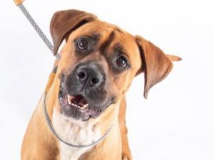 You can fill out an adoption application online on our official websiteJoy is a female BoxerMastif