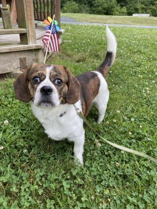 Quentin, an adoptable Beagle & Pug Mix in Clarks Summit, PA