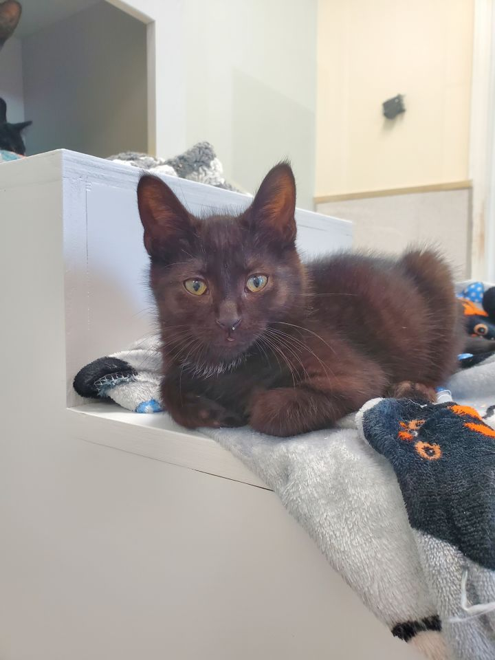 Fisk, an adoptable Domestic Short Hair in Naperville, IL