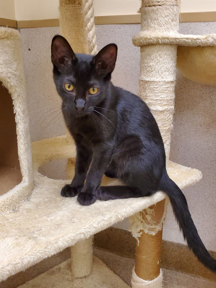 Fisher, an adoptable Domestic Short Hair in Naperville, IL