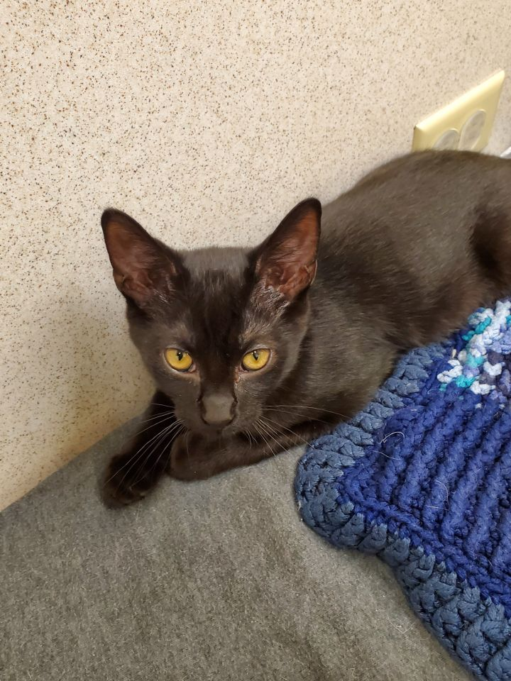 Fitz, an adoptable Domestic Short Hair in Naperville, IL