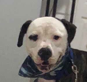 Jagger American Bulldog Dog