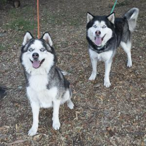 JUDO, an adoptable Siberian Husky in Point Richmond, CA