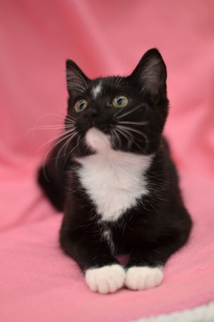 Missy is a 13 week old kitten who has tons of personality She follows you around the house and love