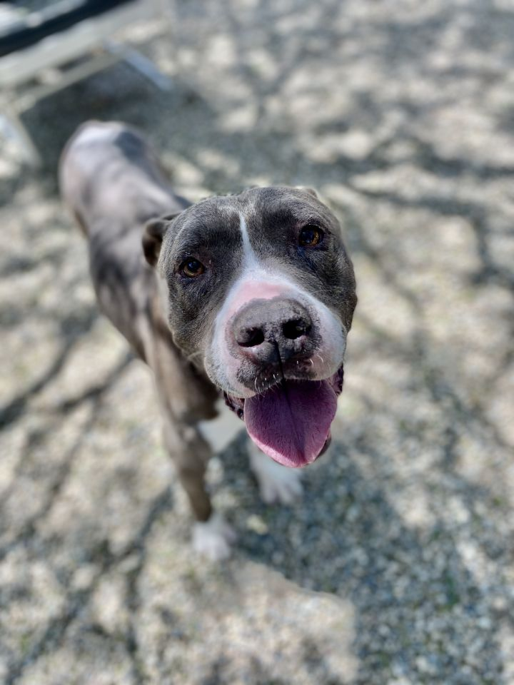 Roy, an adopted Pit Bull Terrier Mix in Pasadena, CA