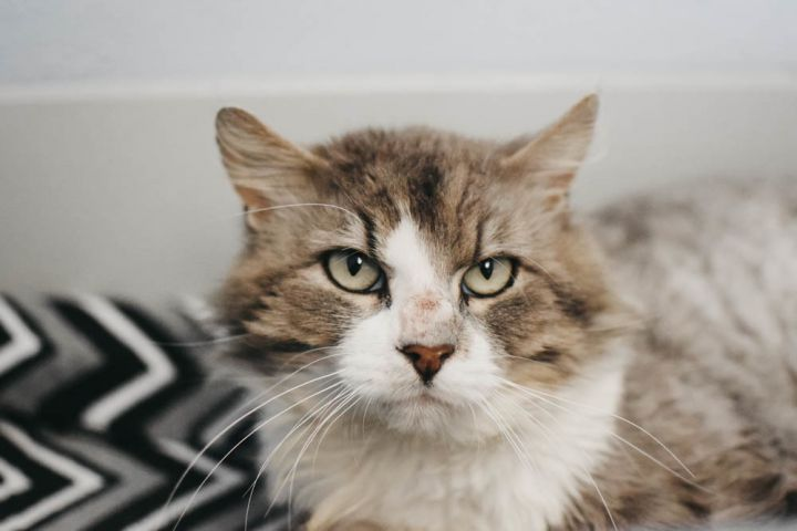 Murph, an adopted Domestic Long Hair Mix in Longview, WA