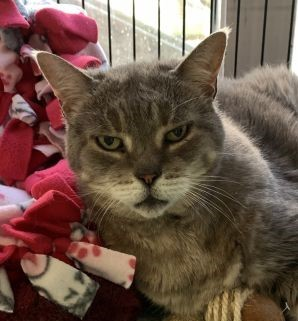 Meet Missy She is a beautiful 13 year old grey Tabby who came to us as her owner could no