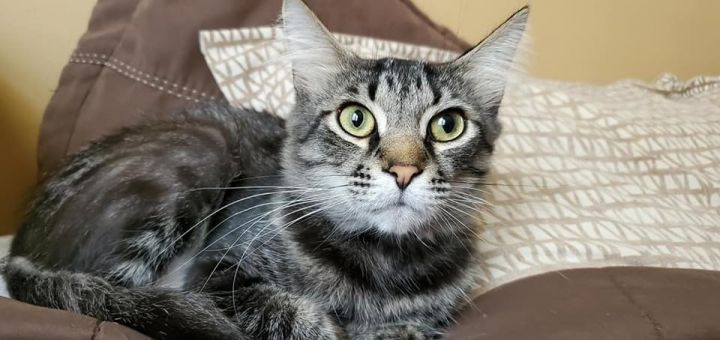 Brad, an adoptable Domestic Short Hair in Highland, IN