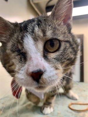 Primary Color Brown Tabby Secondary Color White Weight 85lbs Animal has been Neutered