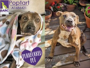 House-trained Check Many dog friends Check Loving with people Check check check Duchess Popt