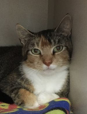 This cutie pie is Delilah She is a 2 year old TabbyCalico that was brought to us with her kittens