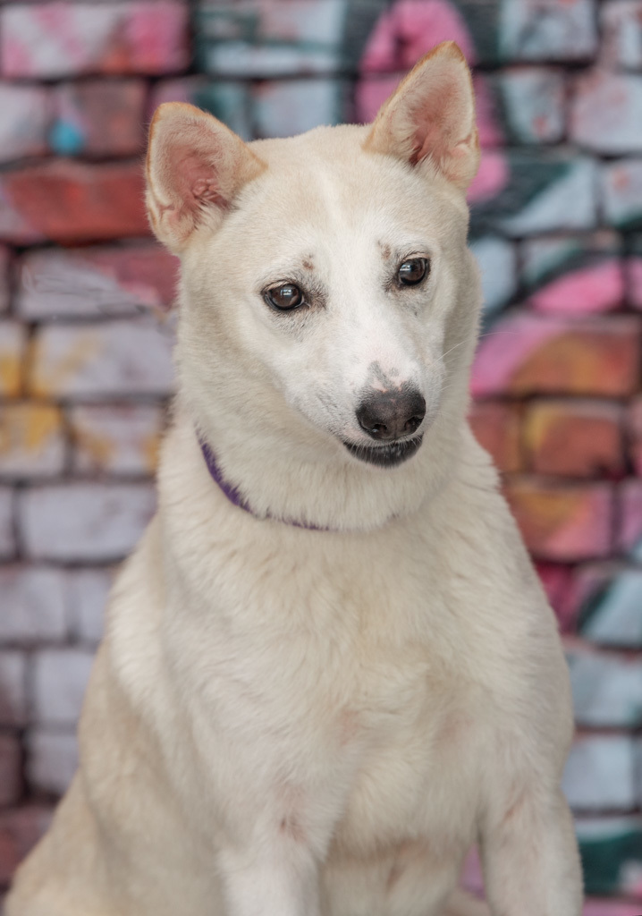 Vegas, an adopted Shepherd & Shiba Inu Mix in Myakka City, FL