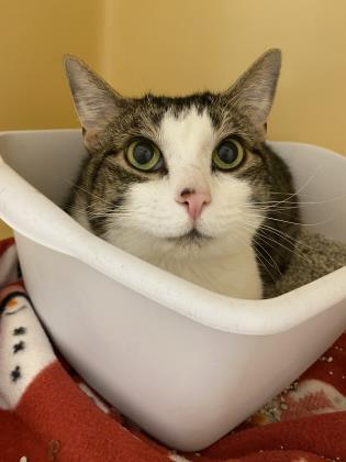 Bernie, an adoptable Domestic Short Hair in Clarks Summit, PA