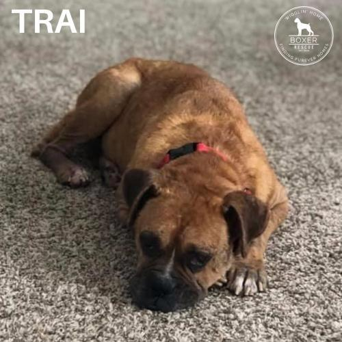 Trai, an adopted Boxer in Battle Ground, WA