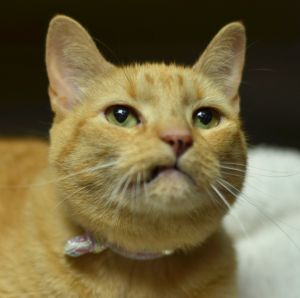 Shaba is a precious healthy and front paw declawed 13 year old female Shabas owner passed away an