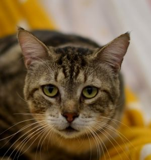 Jefferson is a very sweet and gentle big ole Tom cat He has a laid back loving personality and get