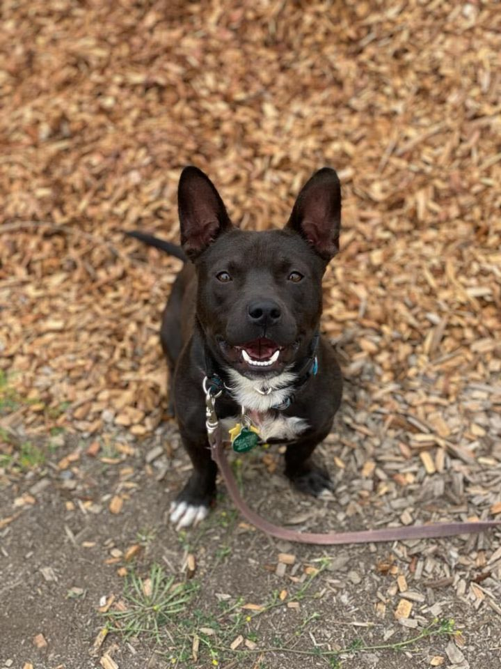 Atwater, an adopted Pit Bull Terrier & Chihuahua Mix in San Francisco, CA